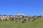 GWの6日間だけ! マザー牧場で200頭のひつじを大放牧【館山自動車道 君津ICから約14km】