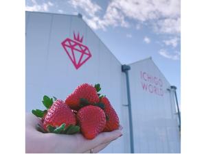 都内の百貨店に卸しているいちごが30分間食べ放題、「ICHIGO WORLD」5月31日まで開催【常磐自動車道山元ICから車で約3.5km】