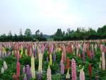 1万株のルピナスが咲き誇る! 手づくり村 鯉艸郷「ルピナスまつり 2021」が5月22日から開催【東北縦貫自動車道 上北ICより車で約16.1km】