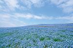 日帰りドライブコース、茨城県 ひたちなか市。空、海、そしてネモフィラ 青一色の絶景ドライブへ