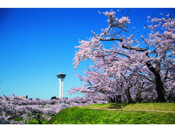 見ごろを迎えた桜名所へ函館お花見ドライブ!